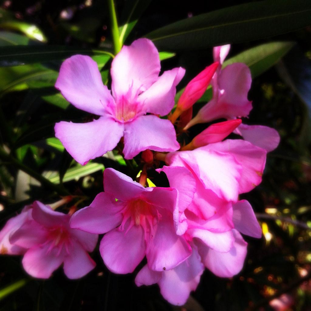 Pretty poisonous flowers gallery fresh lotus flowers beautiful but poisonous flowers gallery flower wallpaper hd izmirmasajfo