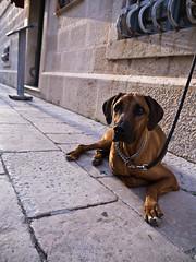 Post Vacation Blues (jp3g) Tags: dog streets sad croatia panasonic g3 korcula postvacation