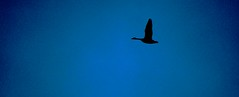 Solo (imageClear) Tags: blue sky bird nature beauty wisconsin dawn march fly flying geese nikon flickr alone graphic artistic curves flight earlymorning social solo single lovely solitary canadagoose photostream naturephotography birdphotography horiconmarsh d7000 imageclear 80400mmafs