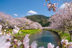 The Cherry Trees are in Full Bloom! (-TommyTsutsui- [nextBlessing]) Tags: pink blue mountain flower tree green nature japan river cherry spring nikon blossom  sakura  izu   someiyoshino    matsuzaki sigma1020  onsalegettyimages