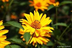 Summertime Colors III (Collect Time Not Things) Tags: life summer sun flower nature yellow countryside meadow natura polen polonia słońce pologne kwiat lato żółty łąka wieś