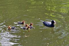 die Blsshhner haben 5 Kinder (mama knipst!) Tags: bird wasservogel blsshuhn