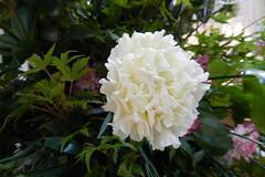 Flores Belfast Ulster Irlanda del Norte 17 (Rafael Gomez - http://micamara.es) Tags: flores del belfast norte irlanda ulster uladh cuige