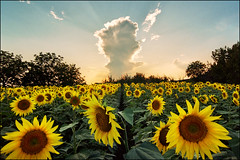 Field of sunflowers (Katarina 2353) Tags: summer film field analog landscape nikon europe serbia sunflower vojvodina srbija katarinastefanovic katarina2353
