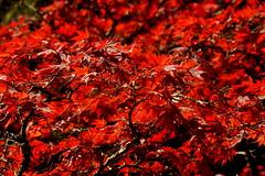 _Leaves_DSC06786 (Ian Gearing) Tags: park uk trees england west nature woodland arboretum gloucestershire westonbirt trust glos