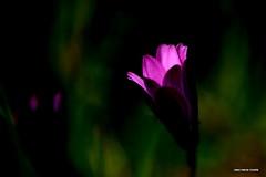 Le Spot... (crozgat29) Tags: nature fleurs canon jardin sigma jmfaure crozgat29