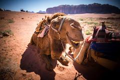 Funny camel at Wadi Rum desert - Jordan (Laurent Tironi) Tags: funnyface desert wadirum wideangle jordan camel bedouin canon6d canon1635mmf4