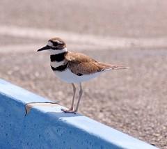 20160331 Keilschwanz-Regenpfeifer (Killdeer) K3II7821_DxO (AviFuzzi) Tags: park nature birds state pentax florida jonathan dfa dickinson 150450 k3ii
