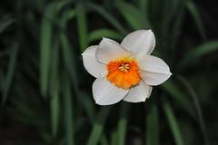 DSC_5277 (2) (rolfjanove) Tags: flowers nature nikon sweden tamron 28300mm d700 rolfjanove