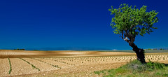 Jeunes pousses........ (Malain17) Tags: sky panorama france nature colors composition landscape photography shot image pentax perspective photographers terre provence capture paysage lavande arbre sillons
