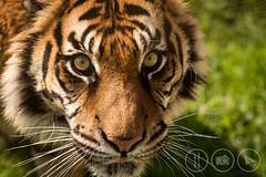Puna (Adrian Court LRPS) Tags: england cats animals tongue nose kent eyes unitedkingdom stripes wildlife tiger whiskers gb stare sumatrantiger sanctuary bigcats puna photoday headcorn smarden wildlifeheritagefoundation
