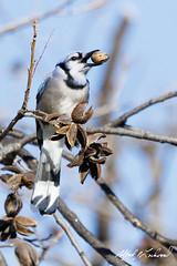 Texas Blue Jays Love Pecans (Alfred J. Lockwood Photography) Tags: morning winter bird nature keller texas wildlife bluejay bearcreekpark alfredjlockwood