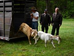 Sandy Point Goats (AccessDNR) Tags: statepark goats invasivespecies 2016 sandypoint annearundelcounty ecogoats