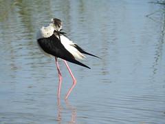 black winged stilt Albufera Mallorca (rossendalebirder) Tags: nature birds animals wildlife waders stilts