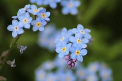 Forget-me-not (JaneCarradus) Tags: flowers blue gardens forgetmenot paleblue