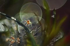 bouncing baby (pete ware) Tags: macro photoshop spiders web nik arachnids threads diffraction babyspiders extensiontubes nikond7000 peteware compositeoftwoimages samyangandhelios85mmlenseswithextensiontubes