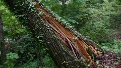 DSCN1413 (VerlynC) Tags: tree falling hickory