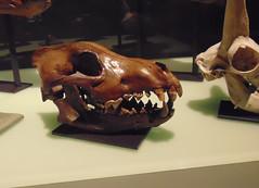 Wolf Wolf (Hydra5) Tags: wolf skull ontariosciencecentre prehistoric