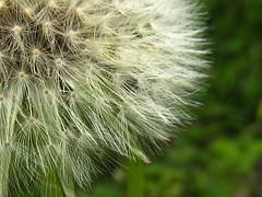 and here's a full one (muffett68 ) Tags: macro soft dandelion seedhead silky clichebutpretty