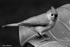 Tufted Titmouse (--Anne--) Tags: bird nature birds wildlife titmouse