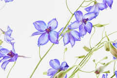 Delphinium (jgokoepke) Tags: flowers macro blossoms delphinium larkspur backsideillumination