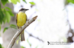 Great Kiskadee (Pitangus sulphuratus) (Gualberto Becerra/CraterValley Photo) Tags: brown white tree bird nature animal yellow branch natural wildlife beak feathers perched panama flycatcher plumage greatkiskadee pitangussulphuratus