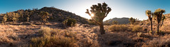 Joshua Tree Pano (Greg Miller | frostlinephotography.com) Tags: sunset panorama nationalpark desert pano joshuatree