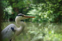 De bon matin - Héron (FloLfp) Tags: heron bleu nature faune verdure animal sauvage calme haute garonne etang toulouse 31 printemps great blue pentax ardeidae reiher garza