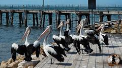 20160413-2ADU-015 Kangaroo Island