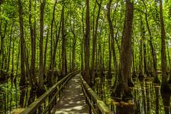 Cypress Swamp, Natchez Trace Parkway (Tony Webster) Tags: mississippi us unitedstates swamp boardwalk canton madisoncounty natcheztrace blacklake cypressswamp natcheztraceparkway