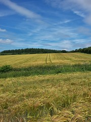 Among the fields of Barley (JP Photography74) Tags: farmland farming agriculture outdoors nature barley crops uk staffs england beech scenics notjustlandscapes