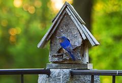 Eastern Bluebird (Matt Champlin) Tags: bird home canon nest birding bluebird fingerlakes nys nesting easternbluebird 2016 skaneateles
