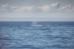 Whale (5 von 19) (karstenniehues) Tags: sea canada st whale lorenz wal whalewatching tadoussac kanada sugetier blauwal finnwal minkwal