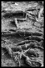 Tree Roots (Dave Denby) Tags: bw white black tree mono roots exposed