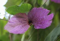 Bow Tie vine (greenkayak) Tags: nature june gardens pine botanical outdoors purple florida blossom lakewales boktowergardens bowtievine