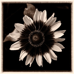 Rudbeckia 'Denver Daisy' (annabelleny Thank you for your views and comments) Tags: blackandwhite flower floral blossom rudbeckia annjacobson denverdaisy