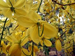 kanikonna (shanoj.ks) Tags: yellow kerala vishu kanikonna flowermobilenaturekallutodyvishukanikonnajackfruitchakkairumbanpuli