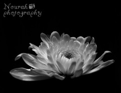 ~*~*~*~ (Nourah Almajaishy) Tags: white black flower rose   nourah      almajaishy