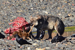 Young wolf and former elk (mapledog) Tags: wildlife yellowstone wolves