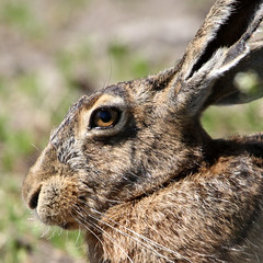 Good Hare-Day (Ger Bosma) Tags: bird dutch europe hare european thenetherlands haas livre liebre lepuseuropaeus lepre feldhase mygearandme mygearandmepremium img47027filtered1