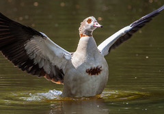 Egyptian Goose stretching the wings (LaurentSt) Tags: bird fauna wildlife goose egyptiangoose sigma400mmf56apotelemacrohsm