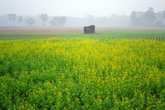 Bengal In Winter (pallab seth) Tags: morning winter mist field fog rural landscape village mustardfield bangla rapeseed westbengal    grambanglarchobi
