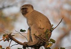 Vervet Monkey sitting in tree (Paul Cottis) Tags: monkey botswana primate moremi paulcottis