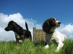 Rosie & Jake at Richmond Castle (MightySnail) Tags: sky dog castle grass puppy jake rosie richmond spaniel jackrussel englishspringerspaniel englishheritage