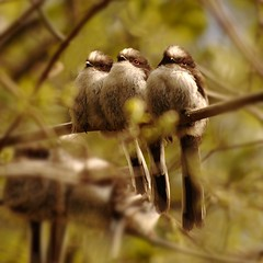 long tailed tits (BBC springwatch twitter) (Gavin Macrae) Tags: bird nature birds tits wildlife animalplanet 2012 fledglings aegithaloscaudatus longtailedtits scottishwildlife aegithalidae