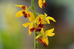 えびね (海老根)/Calanthe (nobuflickr) Tags: orchid nature japan kyoto calanthe thekyotobotanicalgarden 海老根 京都府立植物園 awesomeblossoms えびね persephonesgarden ラン科エビネ属 20120501dsc00371