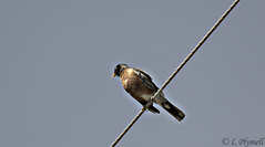 Bird on a wire (Lisa Plymell) Tags: blue sky color nature birds female outside nikon day kansascity fowl 1855 nikkor davehill nyip amature absolutelyperrrfect mygearandme d3100 nikond3100 ringellexence