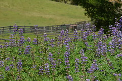 Lupines at the Corral (nebulous 1) Tags: flowers nature landscape flora nikon corral lupines nebulous1 lupinesatthecorral