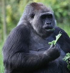 Gorilla at London Zoo (rick ligthelm) Tags: london animal zoo monkey gorilla primate regentspark londonzoo