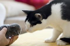 20110702_14490b (Fantasyfan.) Tags: cats baby animal topv111 closeup topv333 kitten gray first meeting curious täystuho fantasyfanin unohdus highqualityanimals
